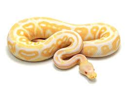Albino Cinnamon Ball Python