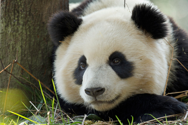 panda, wwf, world wide fund. bamboo network, bamboo, flooring, decking, eco decking