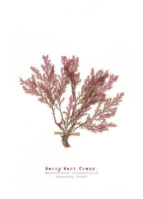 Berry Wart Cress