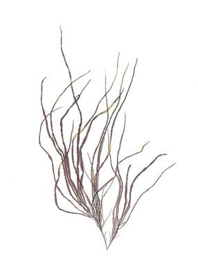 Brown Weed
