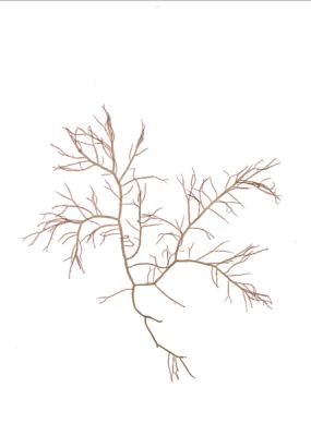 Fern Weed
