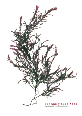 Straggly Bush Weed