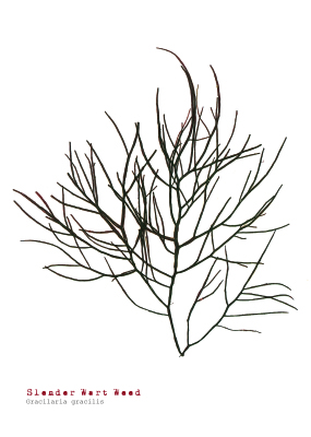 Slender Wart Weed