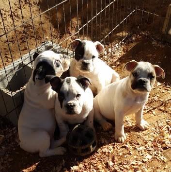 Puppies/ Breedings
