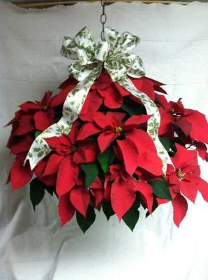 Hanging Poinsettia