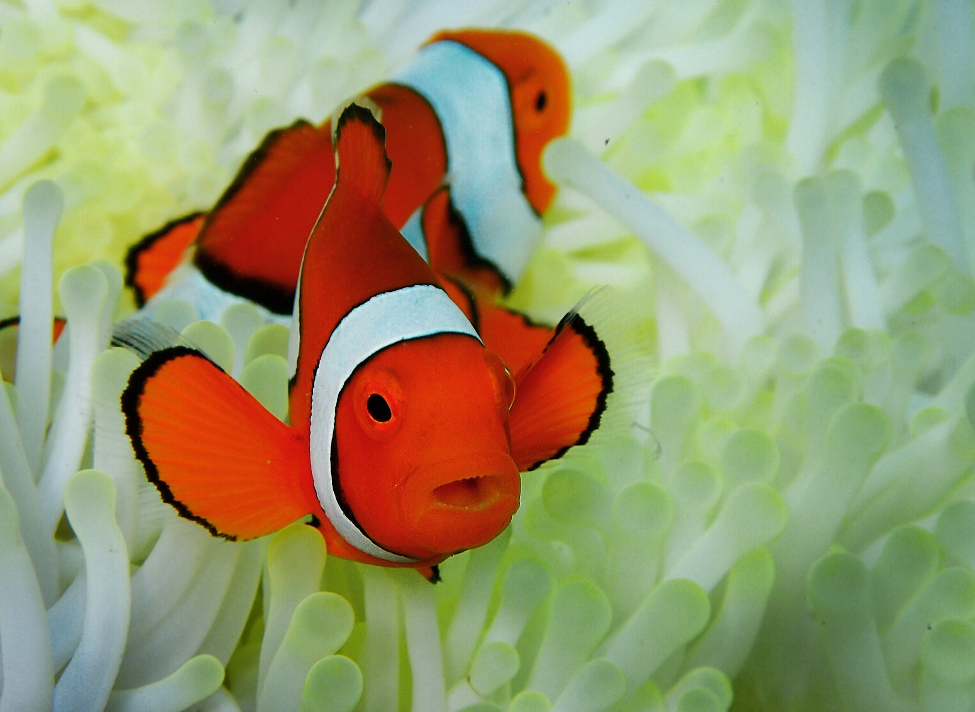 "Nemo was a ""clown anemone fish"" or ""clownfish"", for short. There are lots of different types of clownfish, but they are all small and are usually black, white and orange or yellow."