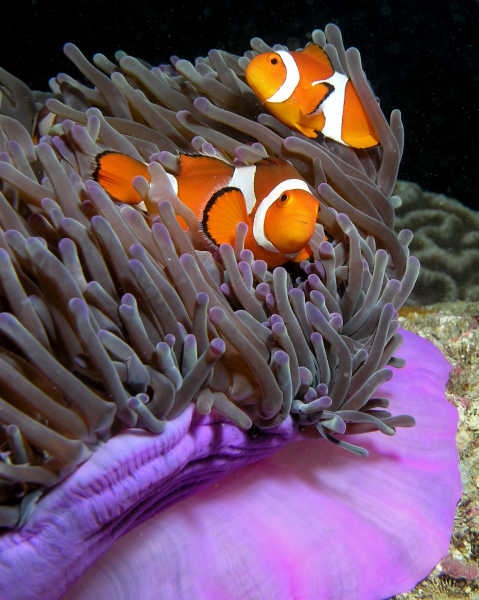"Clownfish are known as ""anemonefish"" because they live in the tentacles of anemones. Anemones are close relatives of corals and jellyfish that are attached to the sea floor and often have stinging tentacles."