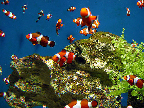 Once clownfish eggs hatch, the babies don't stay in their parents' anemone. They are swept away by currents and tides and are sometimes washed away from the reef completely, into the open ocean.