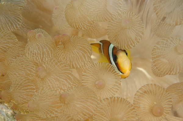 Clownfish are immune to the stings of anemone because they have a thick layer of mucus covering their bodies.