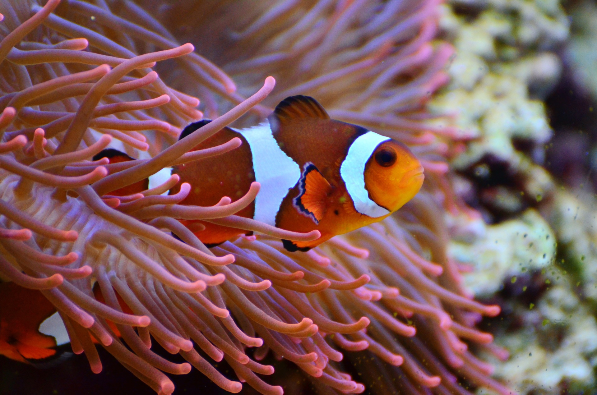 All clownfish are born male! Later in their life, if there aren't enough females around, they may transform into a female. This way there will always be enough females around to be mummy clownfish!