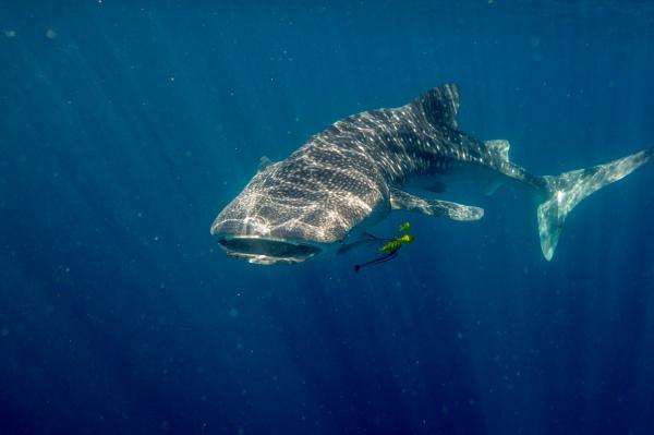 Whalesharks of the Ningaloo