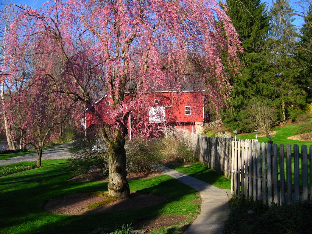 Barn with flowering pink tree along fence