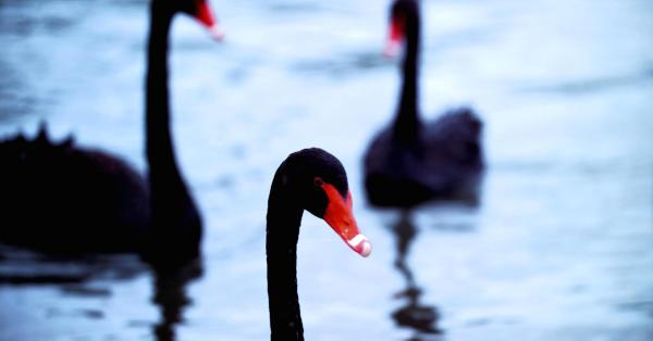 Yevgenia Krasnova - the Gem of a Black Swan