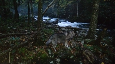 Silas at dusk near the river in Greenbriar, Gatlinburg, TN 10/17