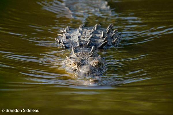American crocodile in pursuit