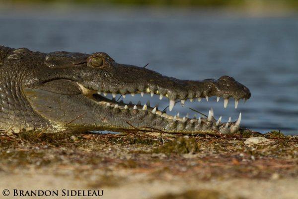American Crocodile Portrait