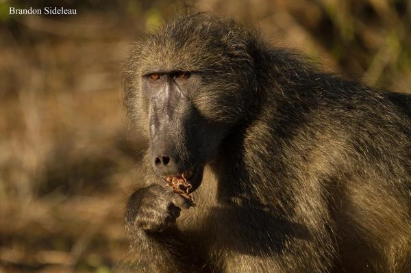 Introspective Baboon