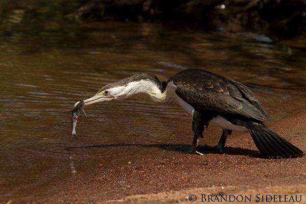 Cormorant & Catfish