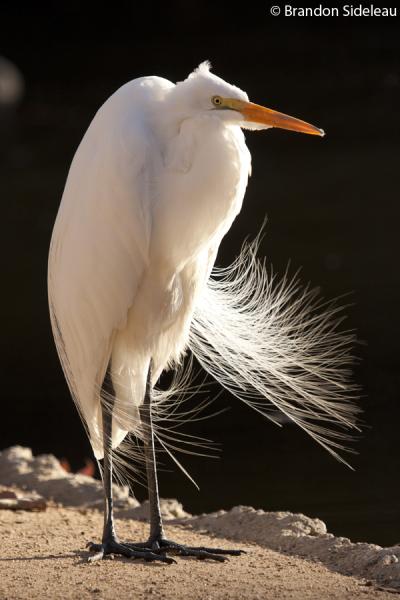 Windy Egret