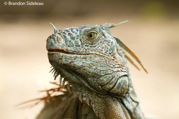 Fabulous Iguana