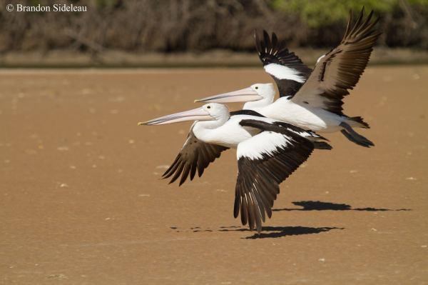 Aussie Pelicans