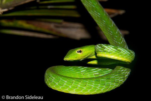 Is It A Vine Or Is It A Snake?