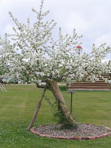 Apple tree planted in 1869 by Fr. Ravalli
