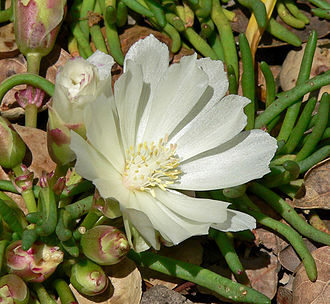 A white Bitterroot in bloom