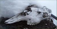 a moose skull