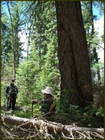 trees in Chilcotin country