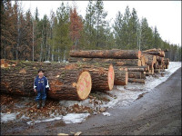 cut fir ready for pick up