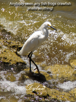Egret searching for lunch