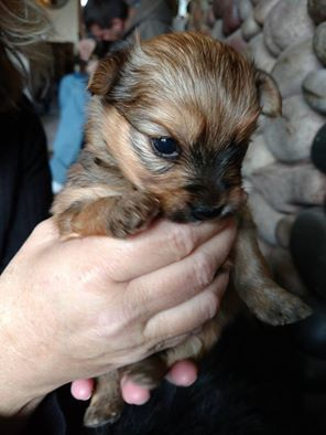 Purebred Yorkshire Terrier and Yorki-Pom Puppies
