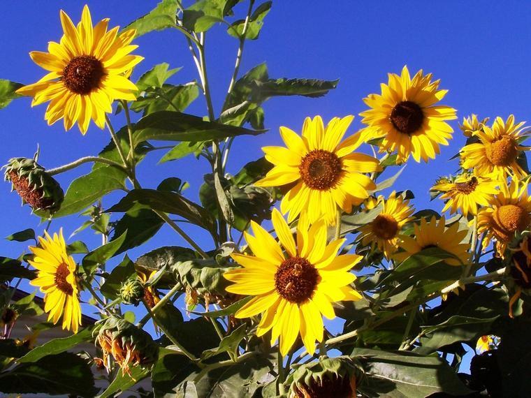Eye Doctor Grand Junction, sunflower header