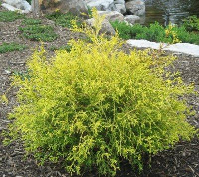 Golden Mop Cypress