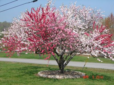 Peppermint Peach Tree