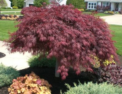 Japanese  Bloodgood Maples