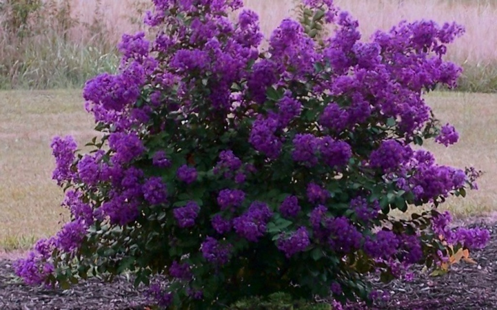 Purple Magic Crape Myrtle Shrub
