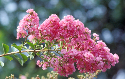 Coral Magic Crape Myrtle Shrub