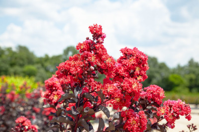 Crape Myrtle Black Diamond