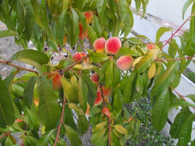 Early Elberta Peach tree
