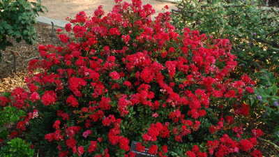 Red Hot Crape Myrtle