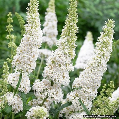 Butterfly Bush White