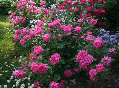 Double knockout pink roses