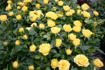 Double knockout YELLOW roses
