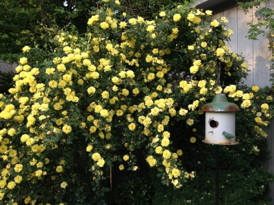 Yellow Drift Roses