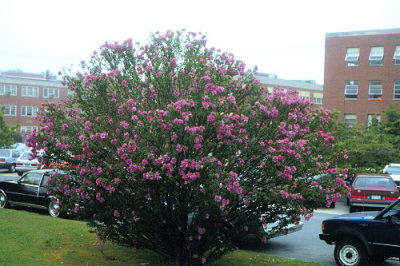 Althea Pink tree