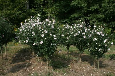 Althea WHITE tree