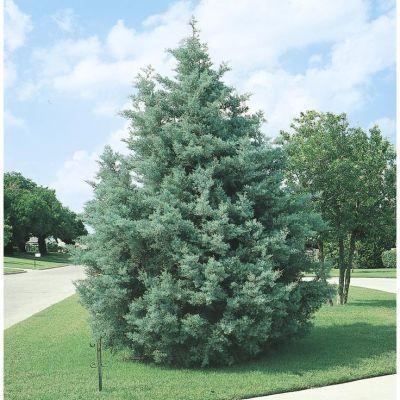 Carolina Sapphire Cypress Tree