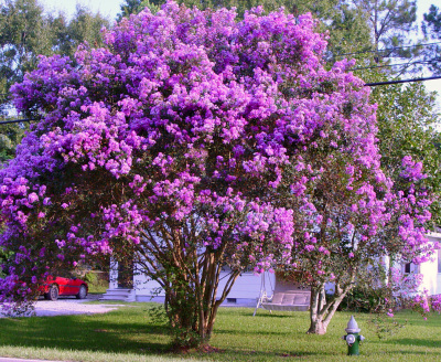 Muskogee Crape Myrtle purple TREE